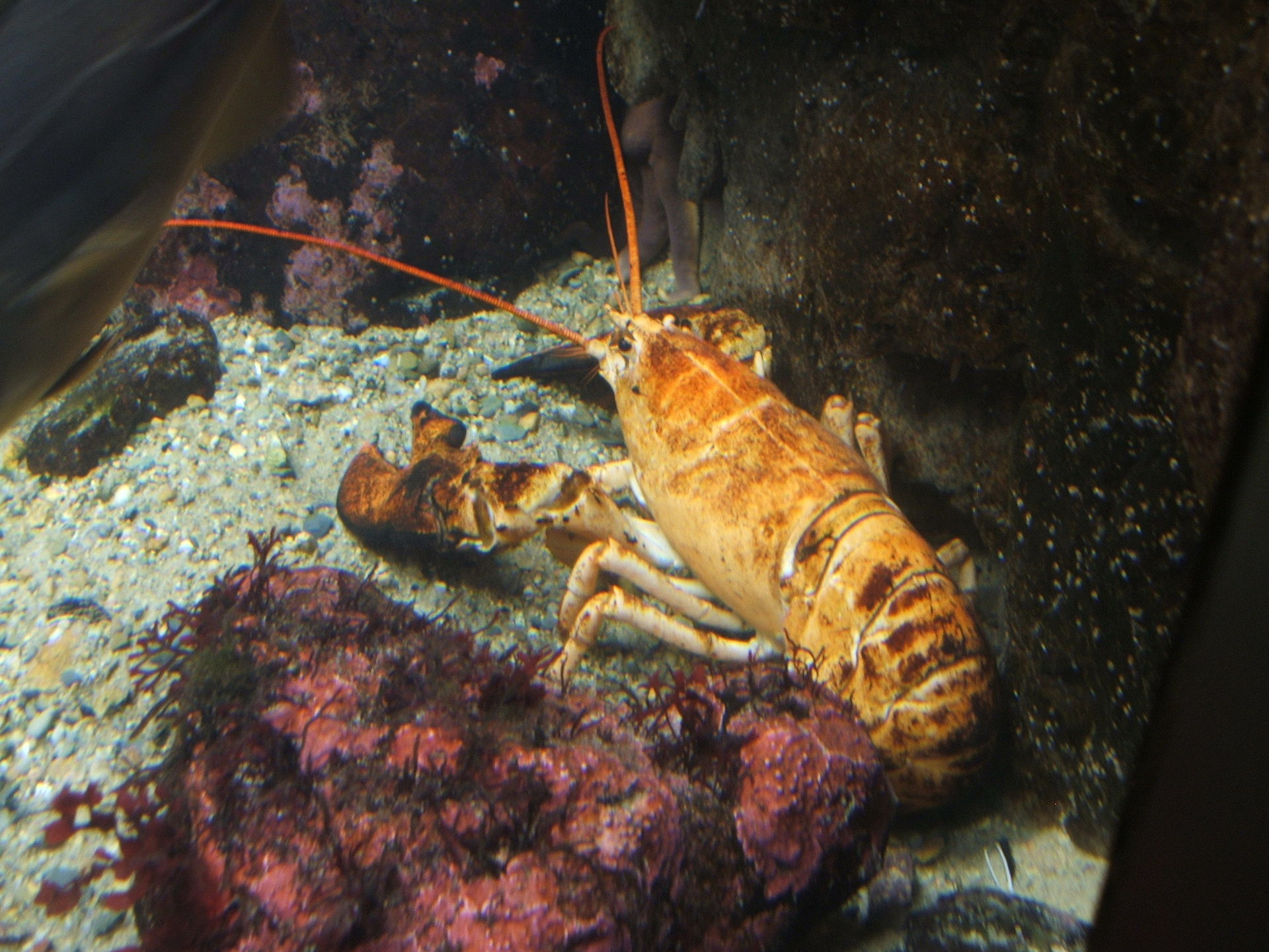 Yellow-lobster