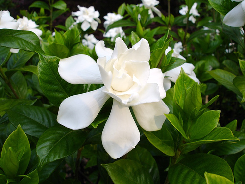 Fragrant houseplants for a nice smelling home simplemost gardenia photo mightylinksfo