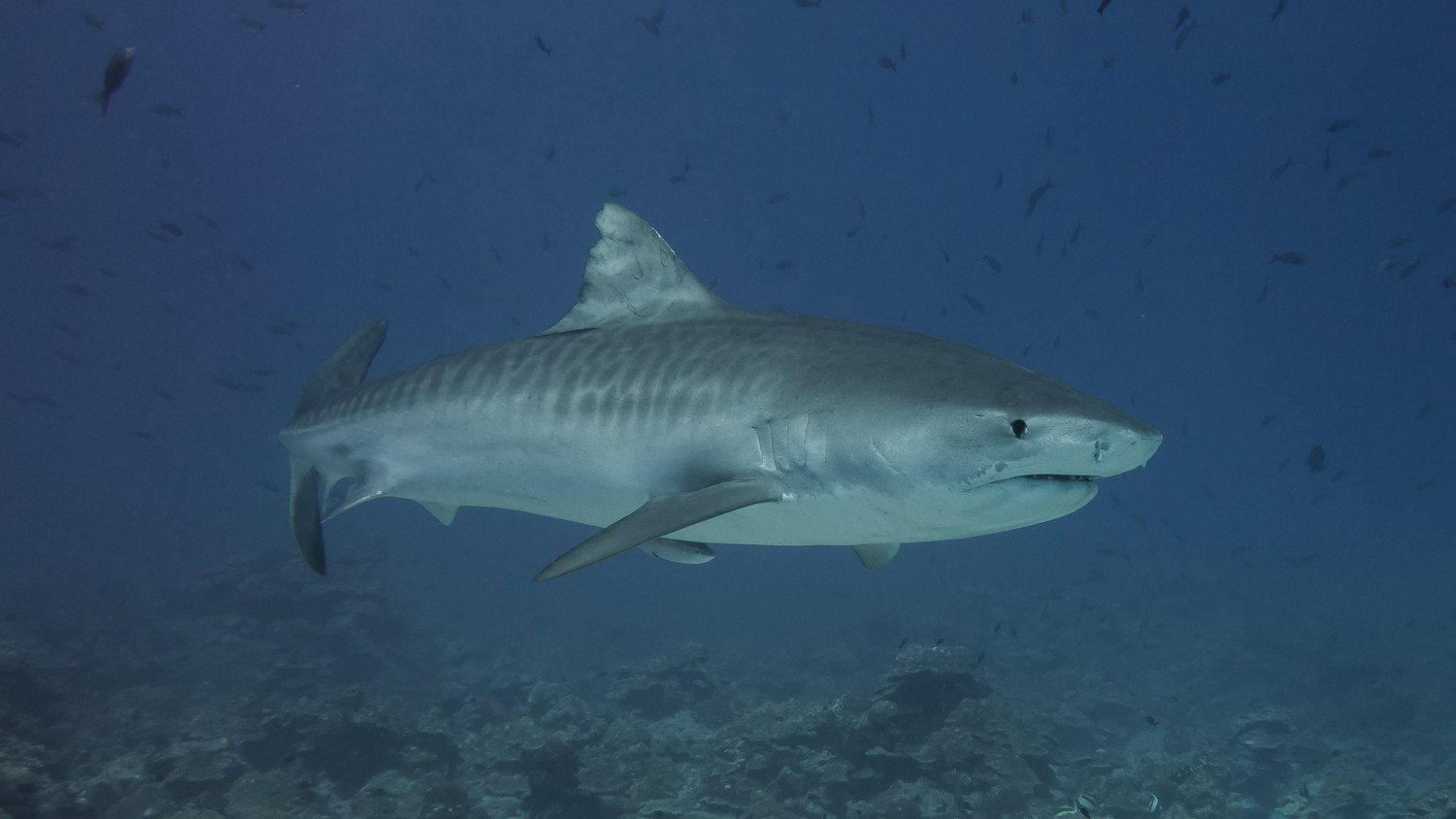 tiger shark photo