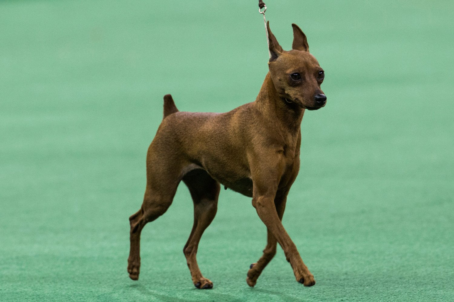 Miniature Pinscher photo