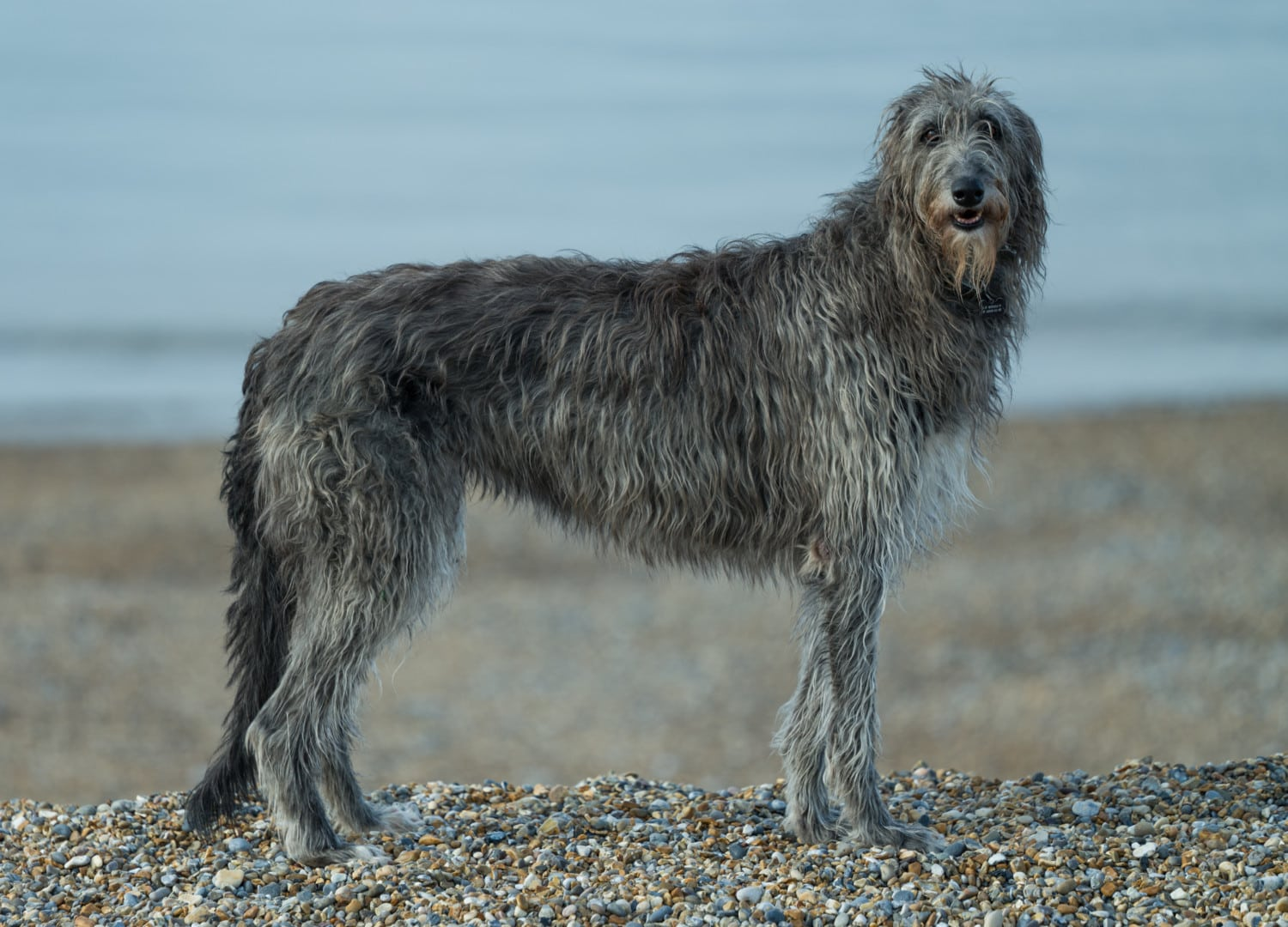 Scottish Deerhound photo