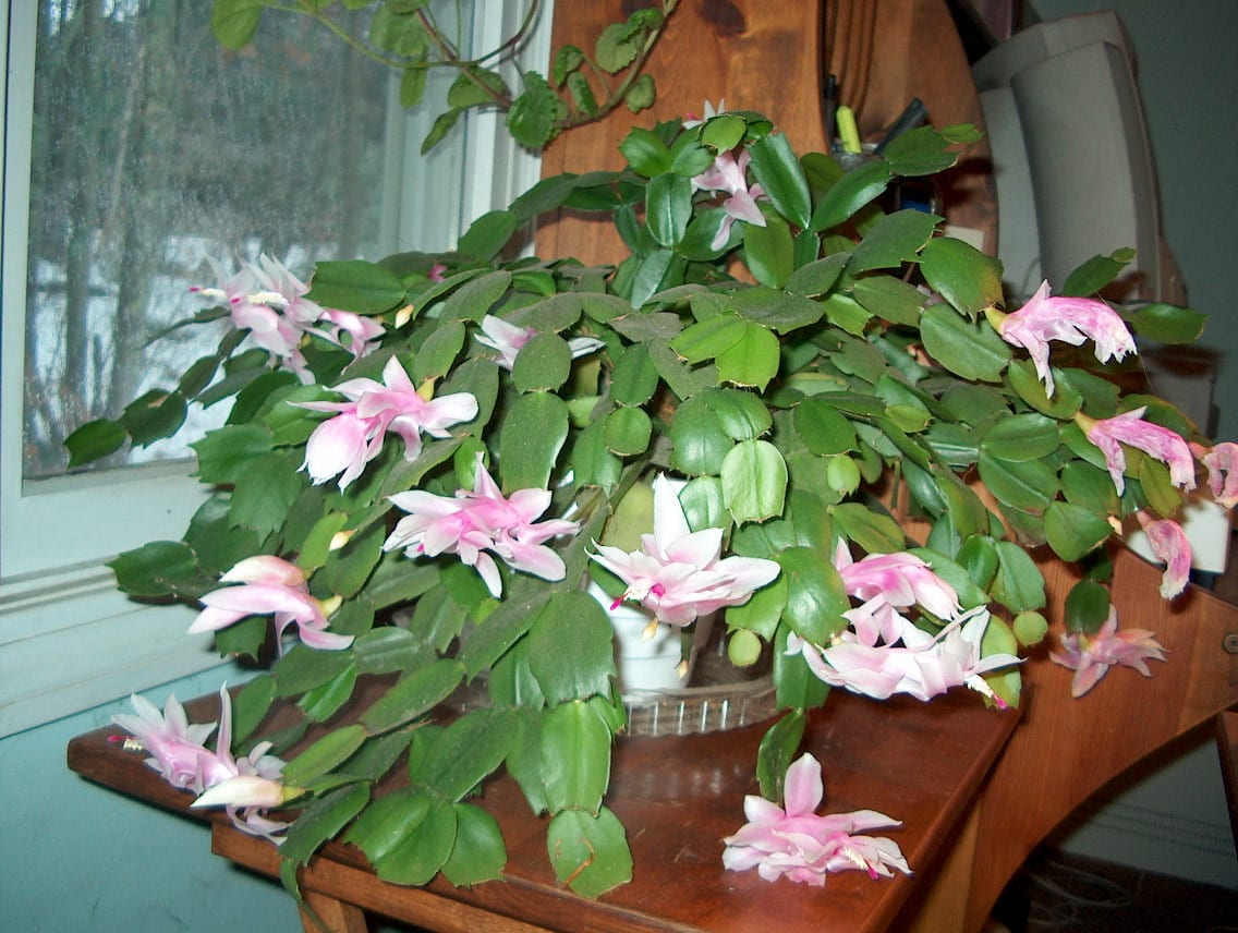 christmas cactus photo